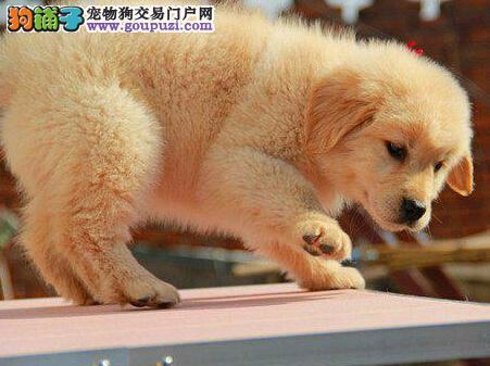 赛级品相金毛幼犬低价出售可刷卡可视频
