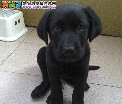 热销纯正血统成都拉布拉多犬 有血统证书品质有保证
