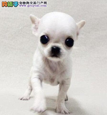实体店低价促销赛级吉娃娃幼犬签订终身协议
