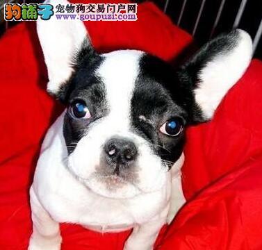 实物拍摄的郑州法国斗牛犬找新主人狗贩子请勿扰
