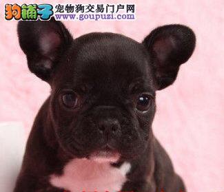 正宗极品济南法国斗牛犬绝对血统纯正国际血统认证
