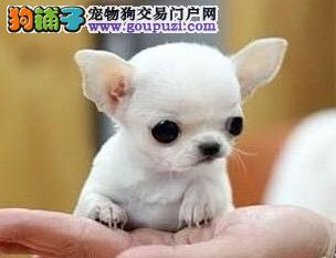 出售墨西哥纯血统的贵阳吉娃娃幼犬 疫苗驱虫齐全