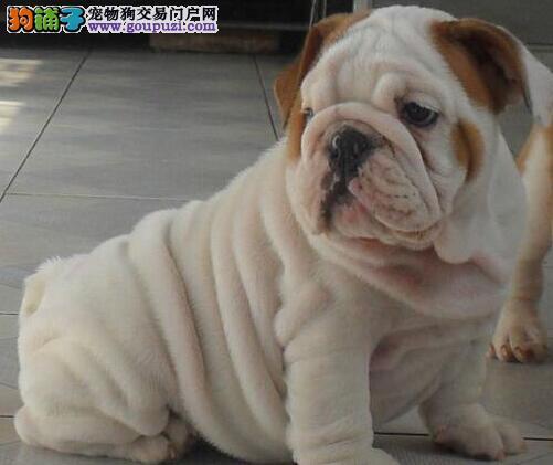 英国斗牛犬幼犬出售中、高端大气精典品质、等您接它回家