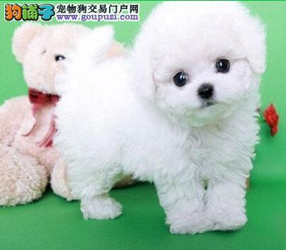 犬舍直销出售可爱卷毛比熊犬 上海同城建议上门挑选