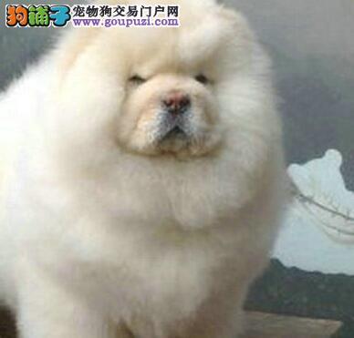 上海出售大头大骨骼松狮犬包纯包健康可上门看狗