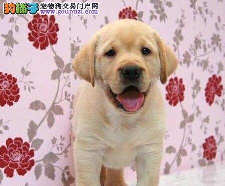 广州正规犬舍繁殖出售拉布拉多幼犬多窝可挑选