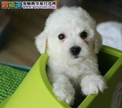 刚出窝的卷毛比熊犬求好心人选购 深圳市内免费送货