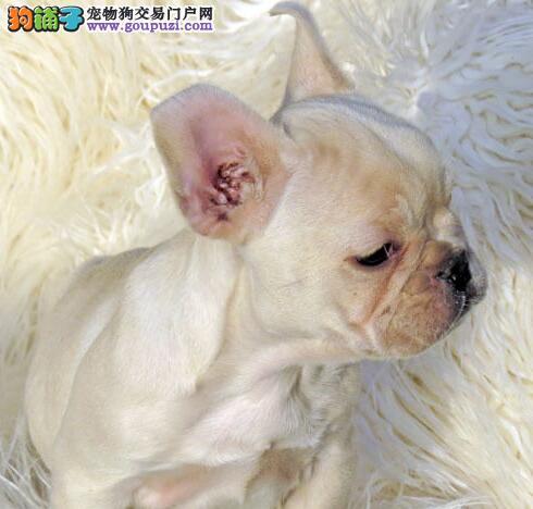热销多只优秀的广东纯种法国斗牛犬幼犬送用品送狗粮