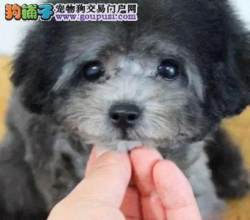 自家繁殖多只泰迪犬出售株洲地区购犬送狗狗用品