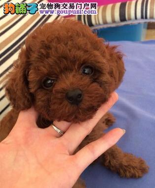 百分之百健康纯种的泰迪犬武汉热卖 颜色多挑选余地大