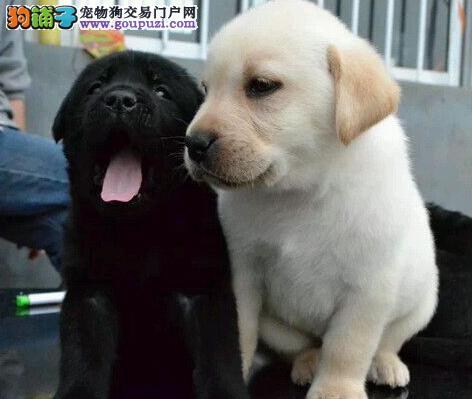 CKU认证赛级拉布拉多导盲犬繁殖基地终身保障纯种