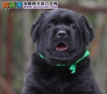 专业出售广州拉布拉多犬 疫苗齐全签订售后协议保健康