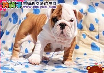 深圳哪里买狗 深圳哪里买英国斗牛犬 找广东南官狗场