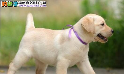 贵阳本地狗场直销出售纯种拉布拉多犬 公母都有血统纯