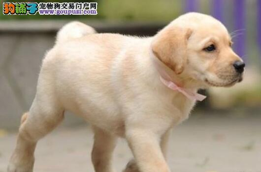 直销价格转让郑州拉布拉多犬 骨骼装毛量足保健康