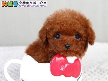 纯血统高品质的哈尔滨泰迪犬 我们承诺终身免费售后