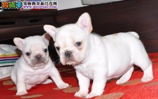 螺旋尾巴大鼻筋品相的斗牛犬优惠出售中 南宁市内送货