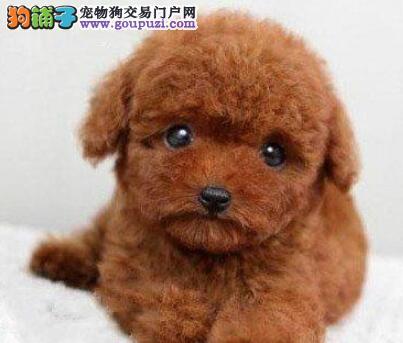 CKU犬舍认证出售纯种泰迪犬优惠出售中狗贩子勿扰