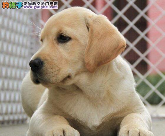 冠军级血系的南宁拉布拉多幼犬待售中 保证品质售后