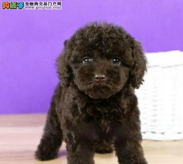 海口知名犬舍出售深红色泰迪犬 喜欢的朋友别错过