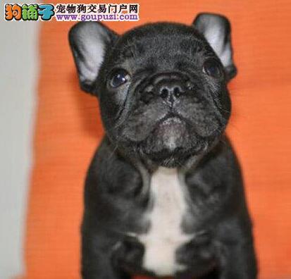 出售多种颜色银川纯种法国斗牛犬幼犬全国空运发货
