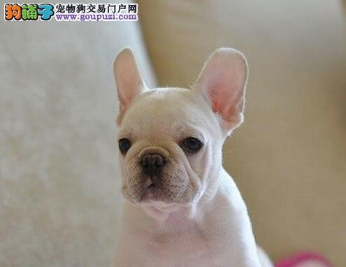 螺旋尾巴大鼻筋品相的唐山斗牛犬找新家 品质均有保障