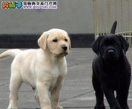 出售疫苗驱虫齐全的济南拉布拉多犬 品相极佳完美售后