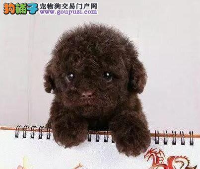 火爆出售韩国血统泰迪犬 国外引进品种南宁最低价