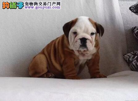 自家狗场热销出售优质深圳斗牛犬 品质优秀保证健康