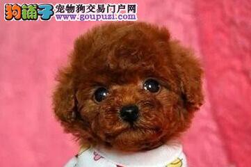 泰迪犬最大的正规犬舍完美售后市内免费送货