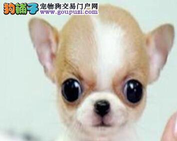 顶级吉娃娃犬袖珍体苹果头大眼睛