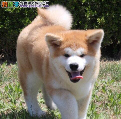 成都哪里能买到纯种健康的秋田幼犬 成都秋田买卖