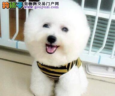 拉萨正规狗舍出售比熊犬大眼睛黑鼻头可爱懂事