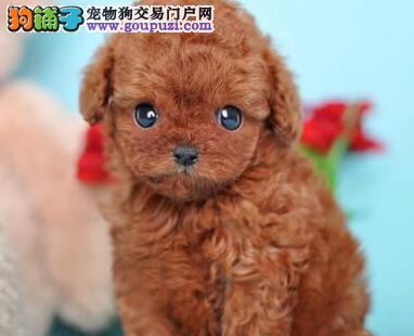 自家繁殖多只拉萨泰迪犬购犬送全套用品送狗粮