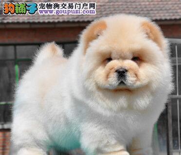高品质肉嘴松狮 毛量大头版绝伦 重庆赛级松狮宝宝售