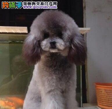 苏州什么地方有卖纯种贵宾犬的贵宾犬多少钱一只