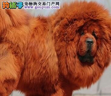 猛犬藏獒 纯血统高品质藏獒幼犬出售 藏獒繁殖基地