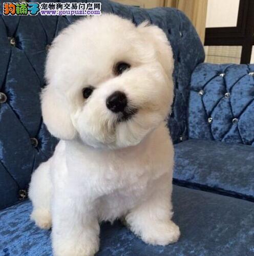 广州自家的一窝小比熊幼犬低价处理 可随时电话联系