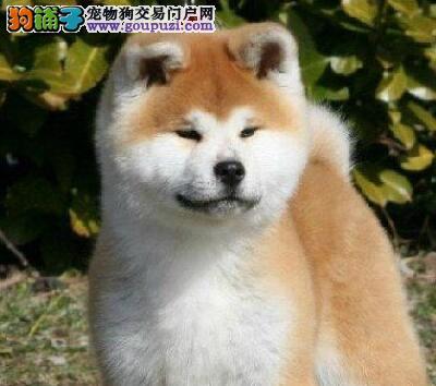 出售秋田犬宝宝 品相血统一级棒 质保健康90天