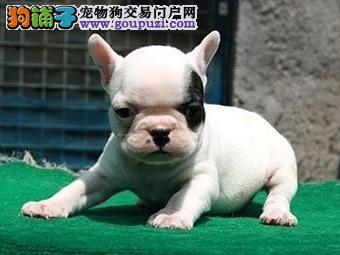 珠海香洲哪里有卖法国斗牛犬 珠海什么地方有卖狗狗