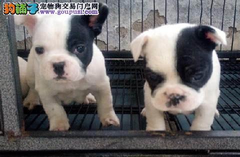 天津家养赛级法国斗牛犬宝宝品质纯正赠送全套宠物用品