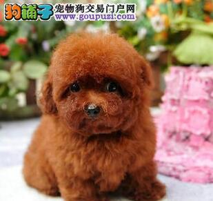 直销纯种韩国血统泰迪犬 重庆本地有实体店有保障