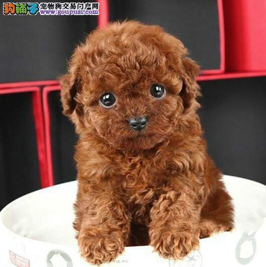 专业正规犬舍热卖优秀泰迪犬优质售后服务
