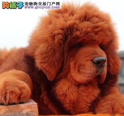 名獒血系藏獒温州出售 骨骼粗大健壮霸气十足 毛量丰厚