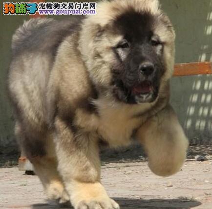 极品优秀大骨架俄系高加索犬昆明狗场促销 品相极佳