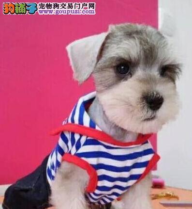 精品雪纳瑞幼犬一对一视频服务买着放心提供护养指导