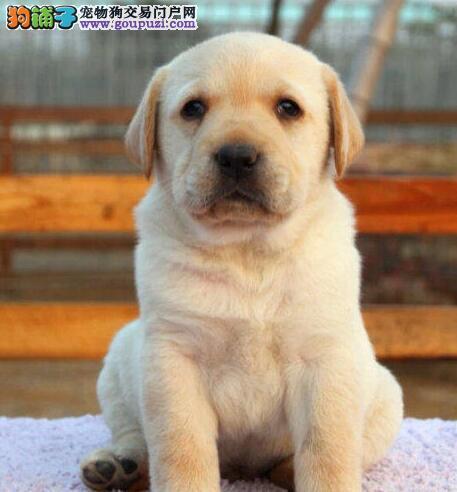 狗舍直销纯种芜湖拉布拉多犬购买签订协议