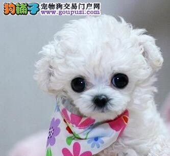 三亚买贵宾犬出售 三亚卖贵宾犬出售 三亚贵宾犬出售