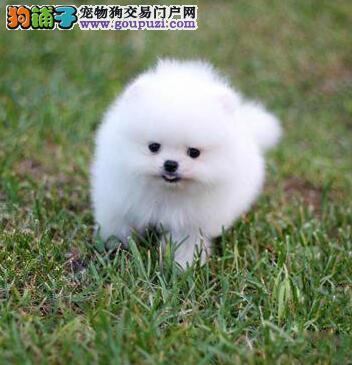 自家繁殖的博美犬特价出售 来合肥犬舍购买价格可面谈
