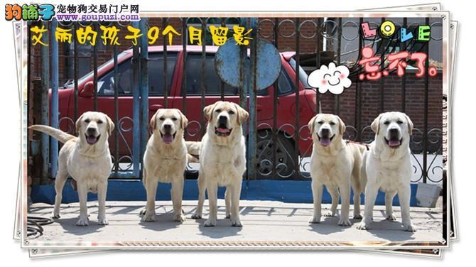 正规狗场出售纯种拉布拉多幼犬 签协议保品质